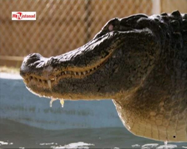 دانلود مستند تمساح بان - 17 از مجموعه تمساح بان