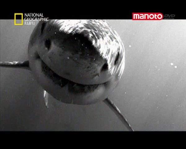دانلود مستند کوسه سفید بزرگ از مجموعه شکارچیان