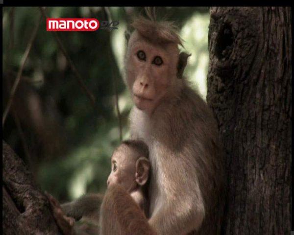 دانلود مستند امپراطوری میمون ها - 9 از مجموعه امپراطوری میمون ها