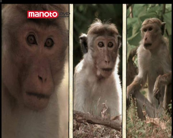 دانلود مستند امپراطوری میمون ها - 10 از مجموعه امپراطوری میمون ها