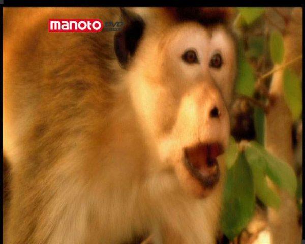 دانلود مستند امپراطوری میمون ها - 2 از مجموعه امپراطوری میمون ها