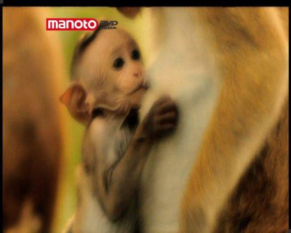 دانلود مستند امپراطوری میمون ها - 4 از مجموعه امپراطوری میمون ها
