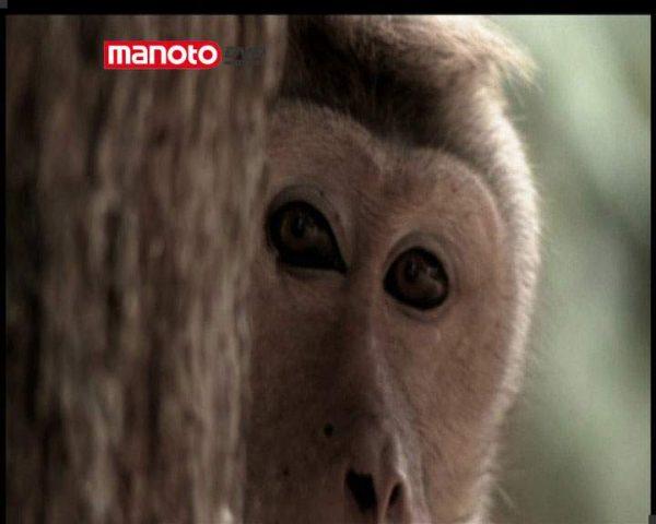 دانلود مستند امپراطوری میمون ها - 7 از مجموعه امپراطوری میمون ها