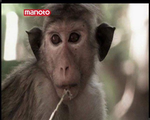 دانلود مستند امپراطوری میمون ها - 8 از مجموعه امپراطوری میمون ها
