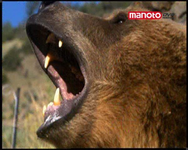 دانلود مستند حمله ی خرس به انسان از مجموعه انسان طعمه ی حیوان