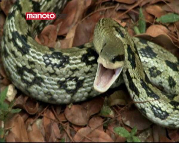 دانلود مستند پایتون در برابر تمساح از مجموعه کشیک باتلاق