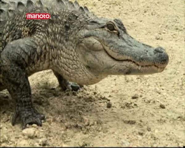 دانلود مستند تمساحهای آدمخوار از مجموعه کشیک باتلاق