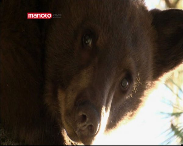 دانلود مستند خرس شرور از مجموعه همکلام با خرسها