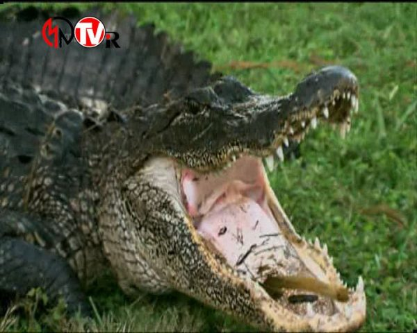 دانلود مستند تمساح بان - 7 از مجموعه تمساح بان