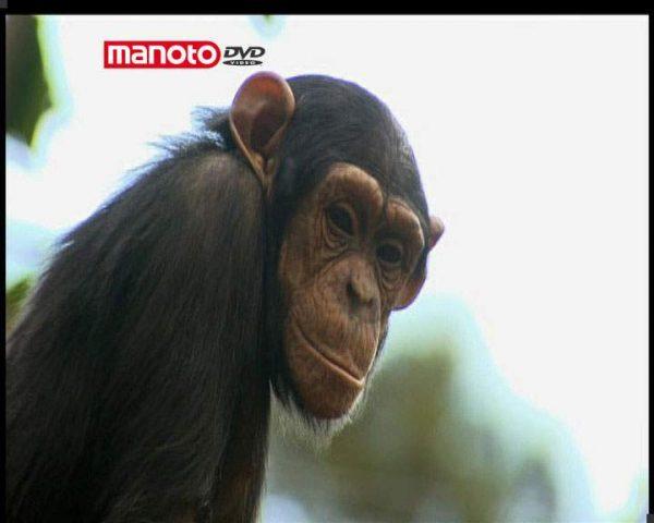 دانلود مستند نقل و انتقال شامپانزه ها 1 از مجموعه حیات وحش در باغ وحش