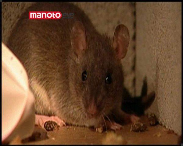 دانلود مستند موش ها از مجموعه شگفتی های دنیای امروزی