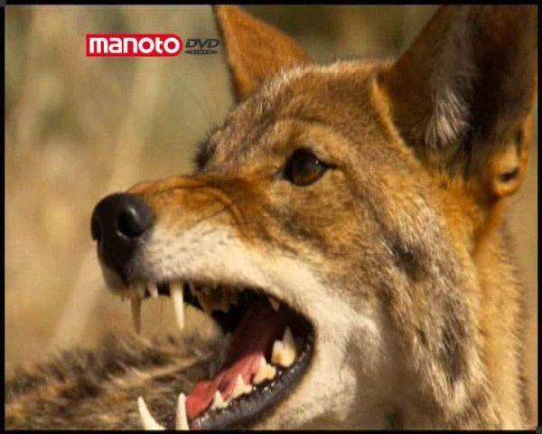 دانلود مستند سگ سانان از مجموعه درندگان