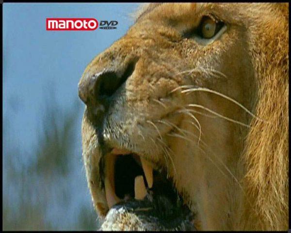 دانلود مستند شیرها از مجموعه درندگان