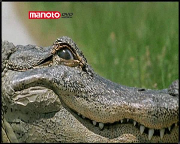 دانلود مستند تمساح از مجموعه درندگان