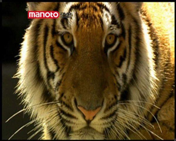 دانلود مستند گربه سانان از مجموعه درندگان