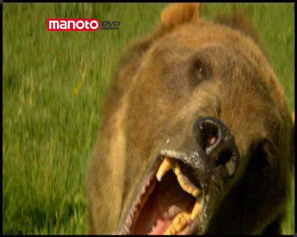 دانلود مستند خرس ها از مجموعه درندگان