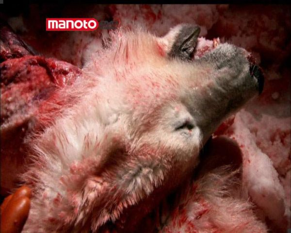 دانلود مستند خرس قطبی از مجموعه زیر پوست حیوانات