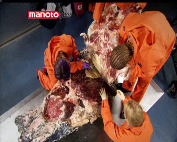 دانلود مستند لاکپشت چرمی از مجموعه زیر پوست حیوانات