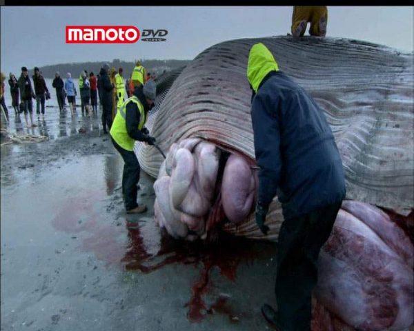دانلود مستند نهنگ از مجموعه زیر پوست حیوانات