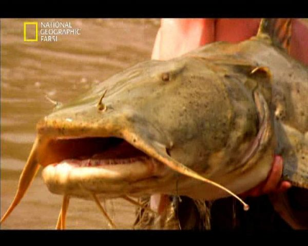 دانلود مستند گربه ماهی شیطان صفت از مجموعه در دام قلاب
