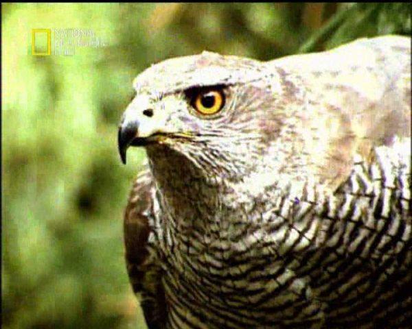 دانلود مستند پرندگان شکاری از مجموعه قاتلین بالفطره