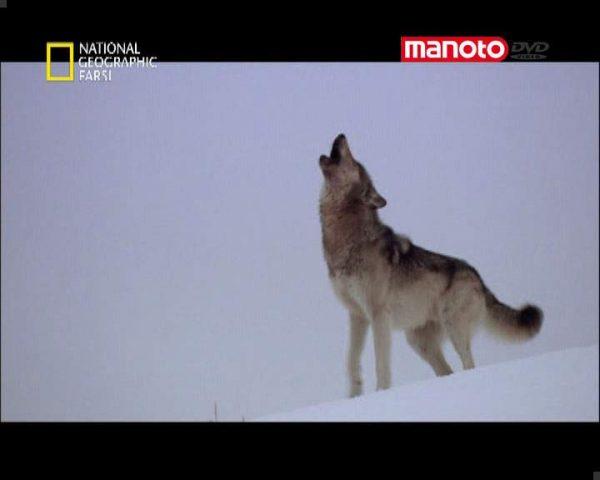 دانلود مستند گله ی گرگ ها از مجموعه حیات وحش