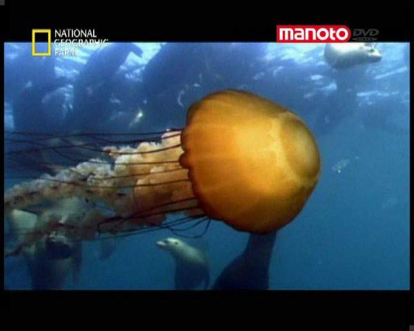 دانلود مستند هجوم عروس های دریایی از مجموعه حیات وحش