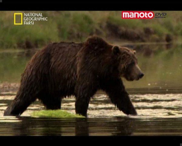 دانلود مستند خرس خاکستری از مجموعه حیات وحش