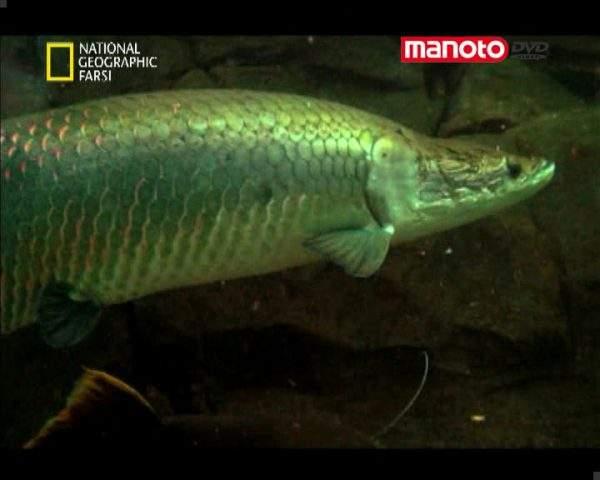 دانلود مستند ماهی مبارز