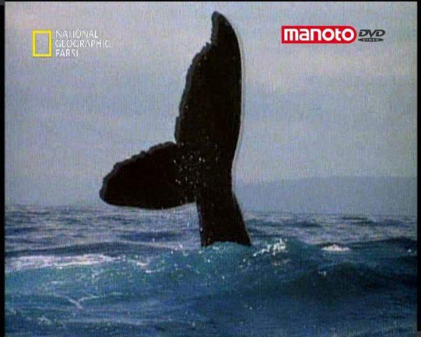 دانلود مستند نهنگ های گوژپشت از مجموعه حیات وحش