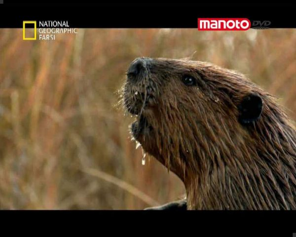 دانلود مستند سگ آبی سدساز از مجموعه حیات وحش