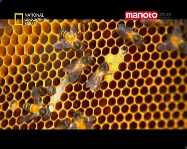 دانلود مستند زنبورهای جنگجو از مجموعه حیات وحش