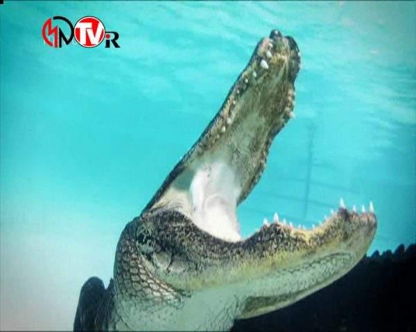 دانلود مستند تمساح بان - 12 از مجموعه تمساح بان