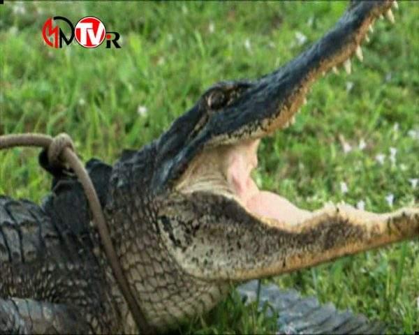 دانلود مستند تمساح بان - 11 از مجموعه تمساح بان