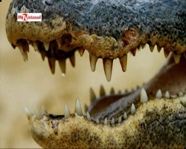 دانلود مستند تمساح بان - 15 از مجموعه تمساح بان