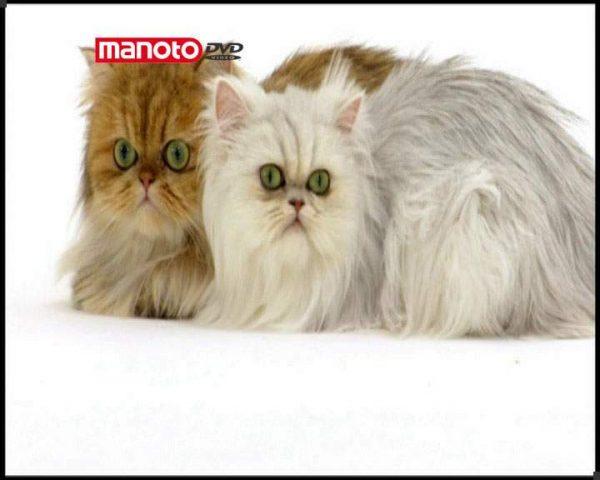 دانلود مستند دنیای گربه ها - 2 از مجموعه دنیای گربه ها