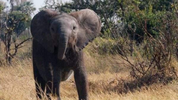 دانلود مستند نالدی؛ داستان یک بچه فیل با دوبله فارسی شبکه منوتو