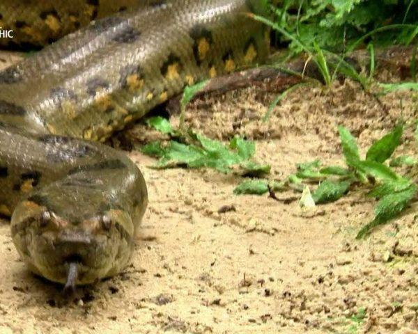 دانلود مستند مار آناکوندای آمازون از مجموعه شکارچیان پایتون
