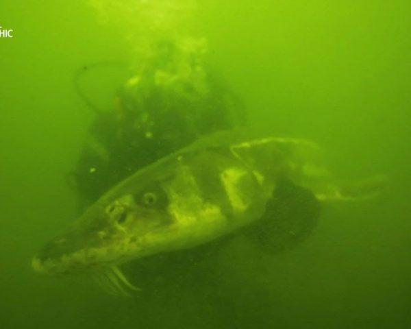 دانلود مستند هیولای سبز با دوبله شبکه نشنال جئوگرافی فارسی از مجموعه ماهی غول پیکر