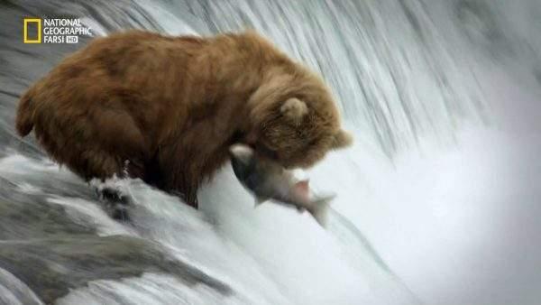 دانلود مستند خرس های گریزلی،گواناکو ها، سوسک ها از مجموعه باشگاه نبرد حیوانات