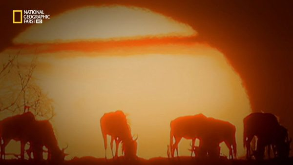 دانلود مستند پلنگ ها، گراز ها، میگوی پیستول از مجموعه باشگاه نبرد حیوانات