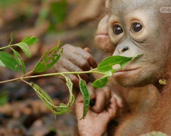 دانلود مستند نجات اورانگوتان ها از مجموعه اسرار حیات وحش