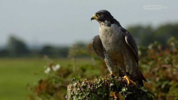 Download the falconry documentary from the Wildlife Secrets Collection