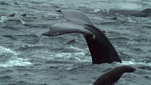 Download the Hedgehog Whale Documentary from the Wildlife Secrets Collection