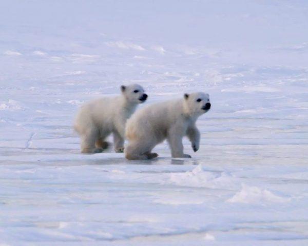 دانلود مستند بچه خرس قطبی از مجموعه ویژه برنامه با دوبله شبکه منوتو