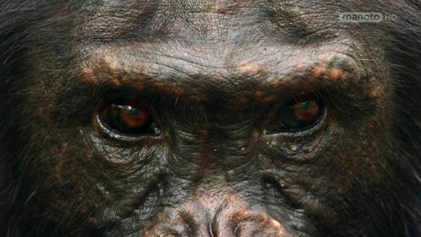 Download the chimpanzee documentary from the Wildlife Collection with the dubbed Monotto Network