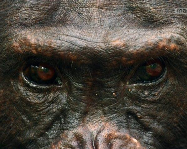 دانلود مستند شامپانزه از مجموعه خاندان وحش با دوبله شبکه منوتو