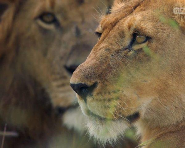 دانلود مستند شیر از مجموعه خاندان وحش با دوبله شبکه منوتو