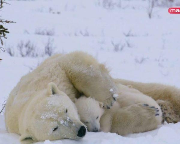 دانلود مستند چرچیل واقع در کانادا از مجموعه کاوشگران طبیعت با دوبله شبکه منوتو