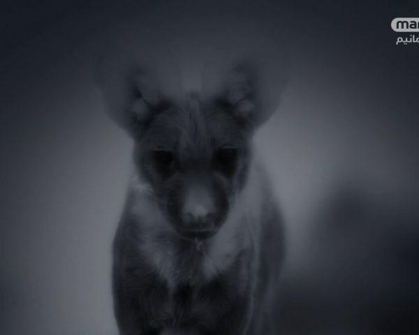 دانلود مستند کفتار از مجموعه خاندان وحش با دوبله شبکه منوتو